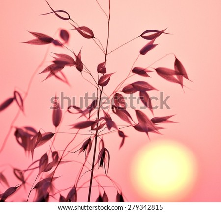 Oat plant with color effects and lighting at sunrise