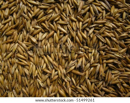 oat seeds before sowing, background, texture