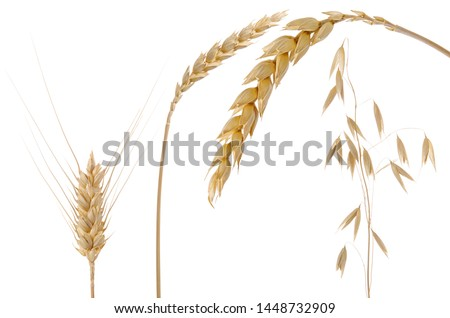Oats, barley and wheat spikelets isolated on white background #1448732909
