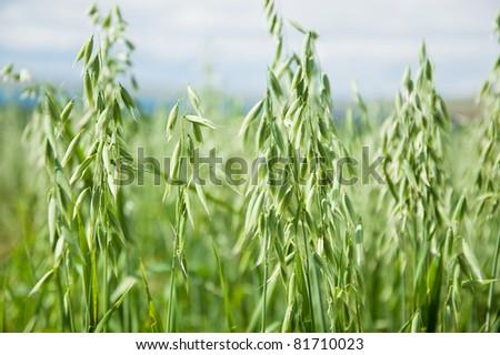 Oats growing in a field