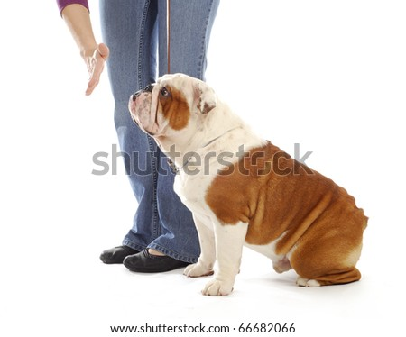 obedience training dog - hand of person giving the stay command to english bulldog on white background
