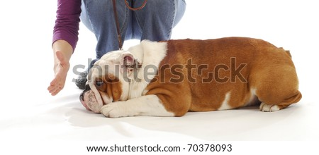 obedience training - english bulldog being taught to down and stay by handler on white background