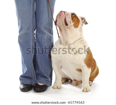 obedience training - english bulldog sitting looking up at owner on white background