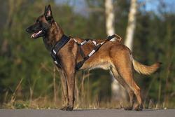 Obedient Belgian Shepherd dog Malinois posing outdoors on an asphalt wearing a black X-back sleddog harness with reflectors