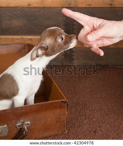 Obedient little Chihuahua puppy learning good behavior