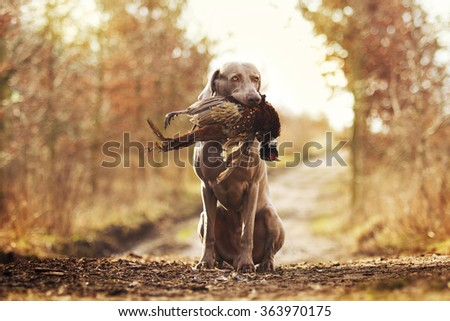 obedient, young and angry nice weimaraner dog or puppy is sitting on a dirt road, and in his mouth holding a pheasant hunter training, winter environment #363970175