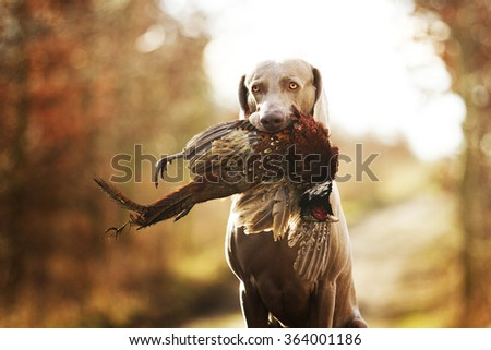 obedient, young and angry nice weimaraner dog or puppy is sitting on a dirt road, and in his mouth holding a pheasant hunter training, winter environment #364001186