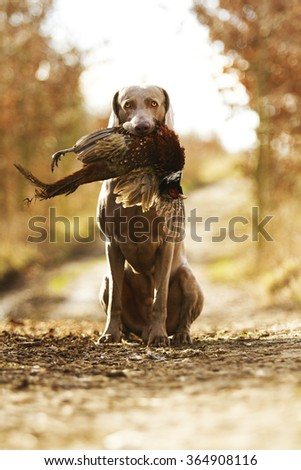 obedient, young and angry nice weimaraner dog or puppy is sitting on a dirt road, and in his mouth holding a pheasant hunter training, winter environment #364908116