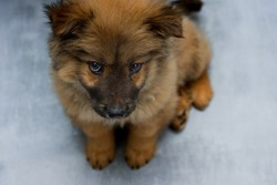 obese chow-chow puppy sits on a gray-blue background, red chow-chow puppy with purple tongue and black ears, cute doggie