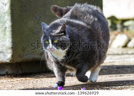 Obese pussy cat on the move in the garden  in spring