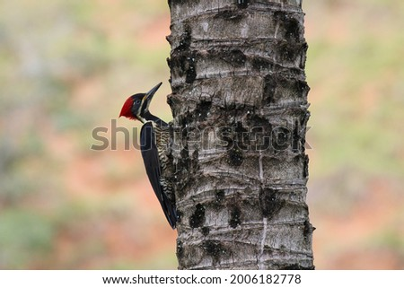 Observação de aves no brasil - Lineated Woodpecker (Pica pau de banda branca) Zdjęcia stock ©
