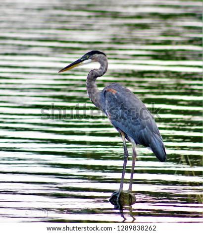 OBX wildlife birds #1289838262