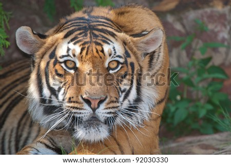 Occurs in forests of India; reddish orange coat with black transverse stripes, under parts whitish; territorial.