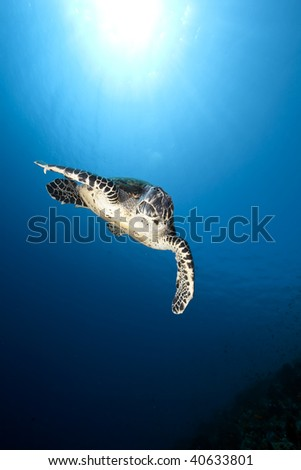 ocean and hawksbill turtle #40633801