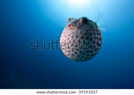 ocean and yellowspotted burrfish
