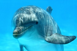 Ocean Life - Curious dolphin watching the camera.