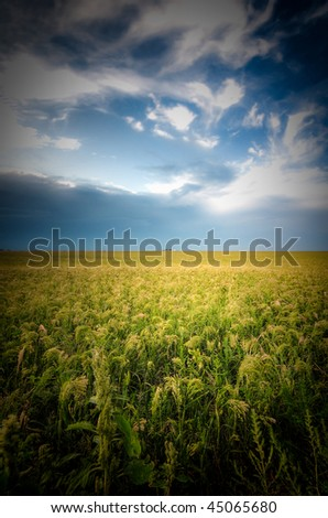 Ocean of grain with a bright blue sky