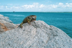 Ocean rest. Iguana on the stone. Beautiful tropical animal. King iguana resting on the beach. Summer time concept. Green iguana close up in Miami city, Florida, USA. Wild iguana on a beach. Reptile