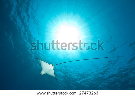 ocean, sun and spotted eagle ray