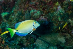 Ocean Surgeonfish swimming over a coral reef in the cCayman Islands