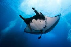 Oceanic manta ray cruising by in Socorro islands