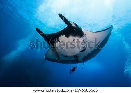 Oceanic manta ray cruising by in Socorro islands Foto stock ©