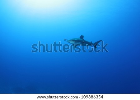 Oceanic White Tip (Carcharinus longimanus) Shark in the Red Sea