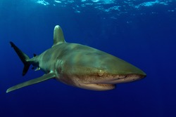 Oceanic White Tip in Clear Blue Water