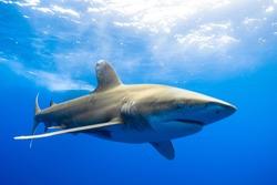 Oceanic white tip shark Cat Island Bahamas