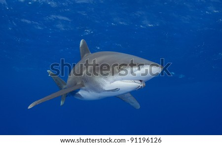 Oceanic white tip shark with a fisherman's hook in its jaws