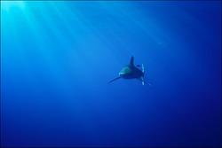oceanic whitecap shark (Carcharhinus longimanus) of Red Sea.