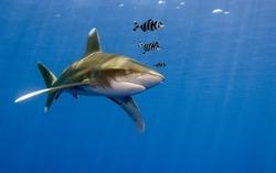 Oceanic whitetip - Carcharhinus longimanus