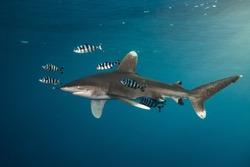 Oceanic Whitetip Shark in Red Sea