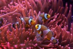 Ocellaris clownfish (Amphiprion ocellaris) swimming in the magnificent sea anemone (Heteractis magnifica). Wild life animal.