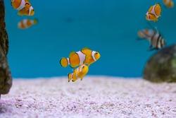 Ocellaris clownfish at Thailand Ocean