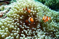 ocellaris clownfish, clown anemonefish, clownfish, false percula clownfish in anemone plant ,swim on plankton stream under deep blue sea of Similan Island