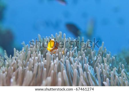 Ocellaris Clownfish, False Clown fish hiding in Anemone Heteractis in the Surin National Marine Park, Thailand.