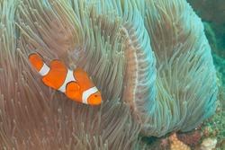 ocellaris clownfish, false percula clownfish or common clownfish (Amphiprion ocellaris) Bali, Indonesia