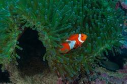 Ocellaris clownfish, false percula clownfish or common clownfish (Amphiprion ocellaris) Moalboal, Philippines