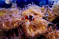 Ocellaris clownfish (Nemo fish) swimming among coral reefs