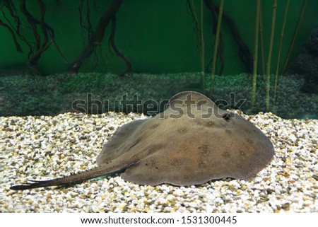Ocellate river stingray (Potamotrygon motoro), also known as the Black river stingray, peacock-eye stingray or South American stingray on a stony bottom