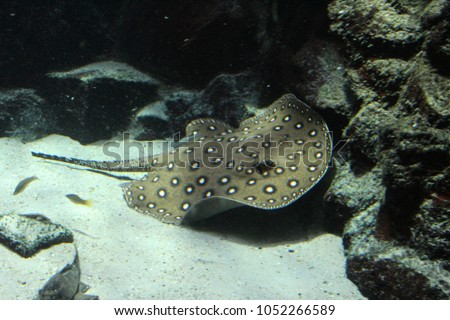 ocellate river stingray (Potamotrygon motoro) swimming underwater