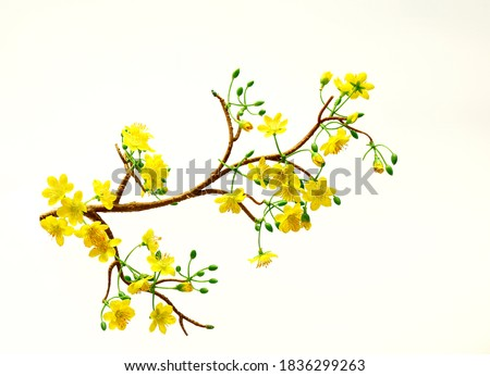 ochna branches to decorate for celebrating Lunar New Year. It's also called Tet holidays in Vietnam, isolated on white background