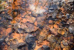 Ochre water, Ferric Hydroxide particles, settled in a stream amongst leaves, on the site of a former coal mine in the Yorkshire coal fields.