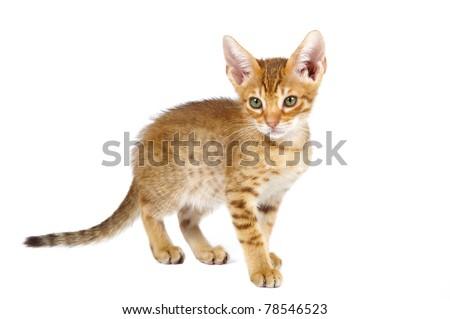 Ocicat kitten on a white background. Studio shot.