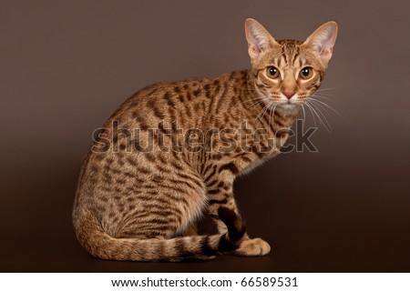 stock photo : ocicat male cat