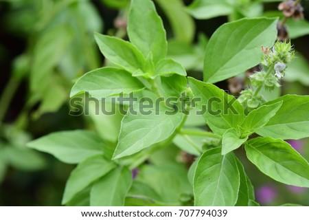 Ocimum × africanum / Ocimum × citriodorum / Ocimum basilicum (Hoary Basil, Lemon Basil, Thai Lemon Basil) ; Showing light green of soft shoot, delicate and pungent odor. Top view, natural sunlight. Foto d'archivio ©