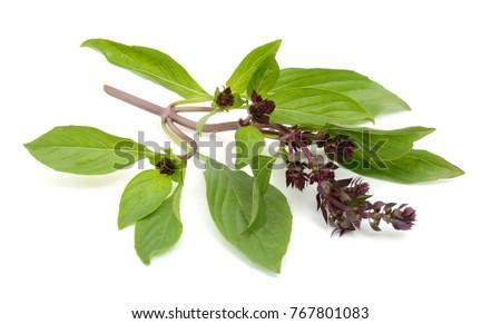 Ocimum basilicum leaves isolated on white background Zdjęcia stock ©