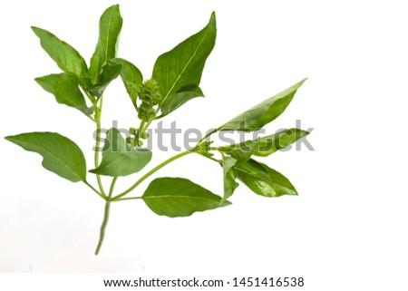 ocimum basilicum Thai lemon basil , a hairy basil #1451416538