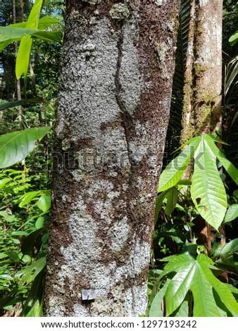 Ocotea aciphylla  (Nees) Mez is a species of Ocotea in the Lauraceae plant family. Amazon rainforest, Brazil Stock fotó ©